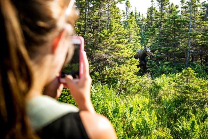 Photographing moose in Cape Breton Highlands National Park